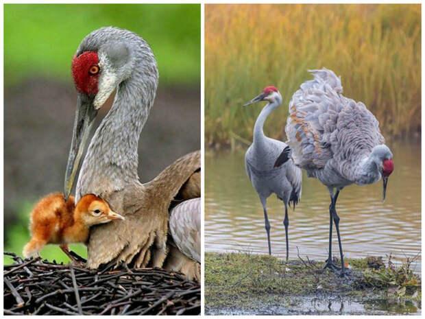 Журавли общительны, в большинстве своем моногамны и тратят многие годы на воспитание потомства. журавли, интересное, красота, птицы, факты, фауна