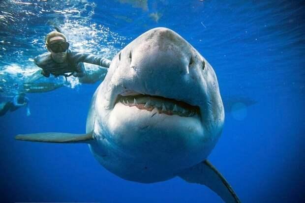 А вот и и сама улыбка... Впечатляет, не правда ли? Великая Белая Акула, акула, наука