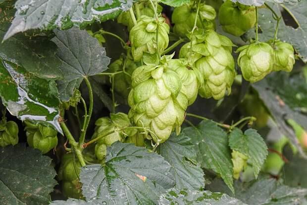 Пивовары Крыма с начала года произвели 28 миллионов литров пива