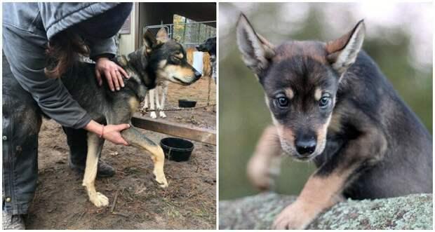 18. Талиси (Talese) - 2 года животные, истории, мило, работа, собака, собаки, упряжка, фото