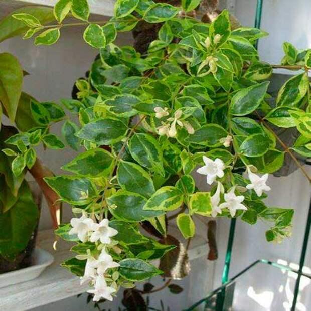 Комнатное растение Абелия (Abelia)