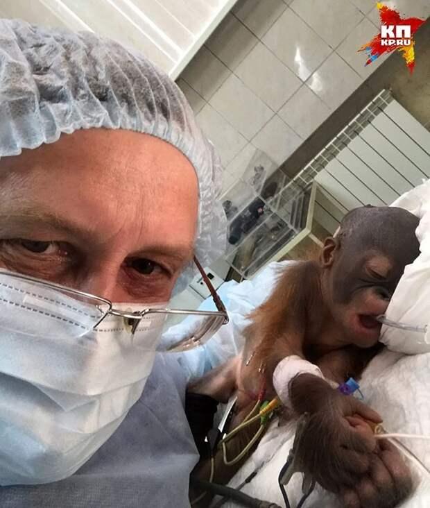 Новорождённому орангутану из Новосибирска спас жизнь человеческий нейрохирург животные, новосибирск, орангутан, спасение жизни