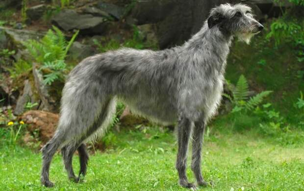 Потомки охотничьих собак пиктов были идеально приспособлены для охоты на больших оленей, чем завоевали любовь шотландской аристократии. /Фото: doggos.ru
