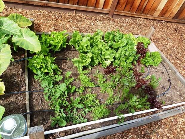 Как ускорить урожай весенней зелени в огороде?