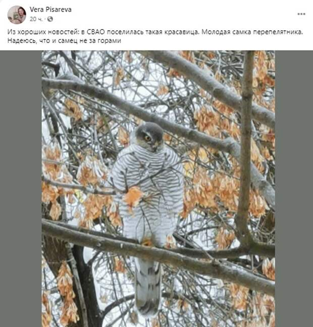 На Ленской ястреб-перепелятник попал в объективы камер