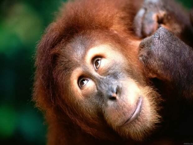 Орангутанг научился говорить