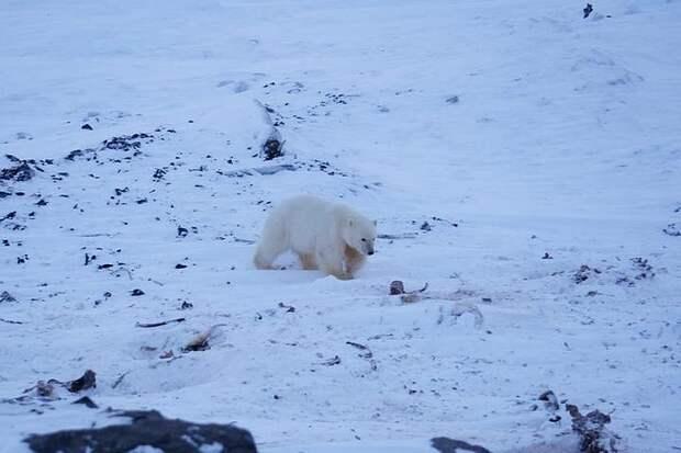 «Умка, возвращайся домой!»: на Чукотке всем селом спасают белого медвежонка-сироту