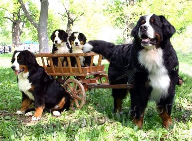 Бернский зенненхунд (бернская овчарка) пастушья порода собак, породы собак с фотографиями