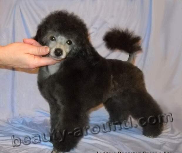 Пудель  декоративная самая умная порода собак в мире, породы собак с фотографиями