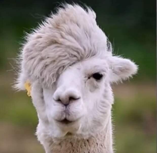 Лама на стиле животные, забавно, неожиданно, нужный момент, подборка, природа, фото, юмор
