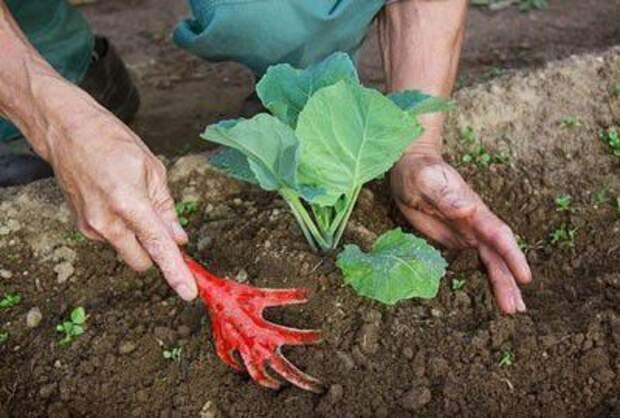 зачем окучивают овощи