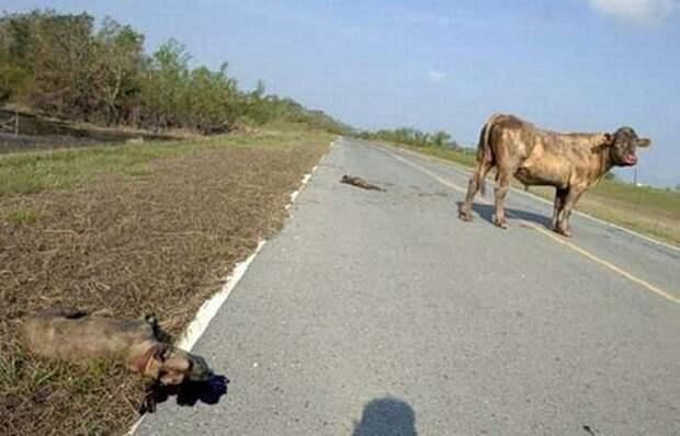 Классика жанра — бык и питбули буйвол, питбуль, схватка