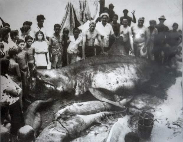 5 - Кубинец акула, животные, людоед, океан