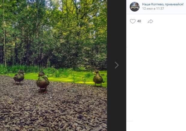 Фото дня: в Тимирязевском парке утки сменили окрас