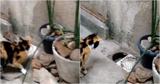 Крыса ловко ускользнула из-под носа кошки бразилия, в мире, видео, животные, кошка, крыса, прикол