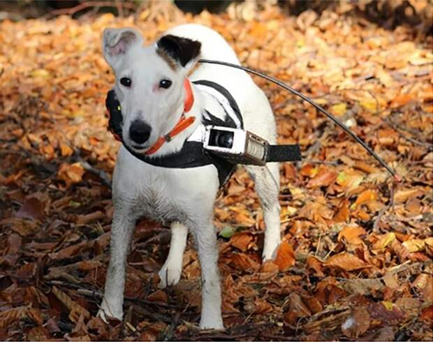 Каков механизм навигации собак: они пробежали 20 метров на север или юг и только потом побежали к хозяину