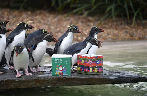 В зоопарках Великобритании животных начали поздравлять с Рождеством