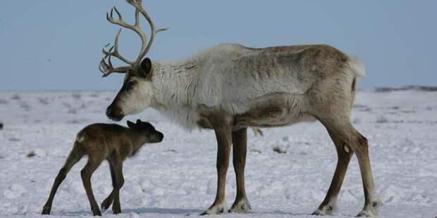 Ученые исследуют ДНК ямальских оленей чтобы сделать их жирными