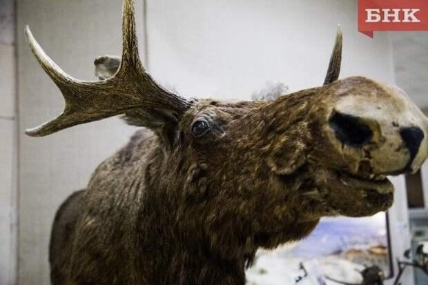 В Коми из-за активной охоты на волков увеличилась численность лося