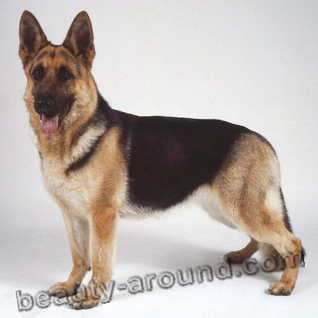 Немецкая овчарка породы собак с фотографиями