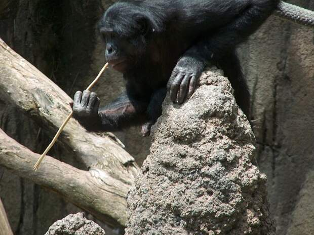 "File:A Bonobo at the San Diego Zoo ""fishing"" for termites.jpg"