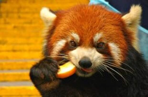 необычные животные малая панда