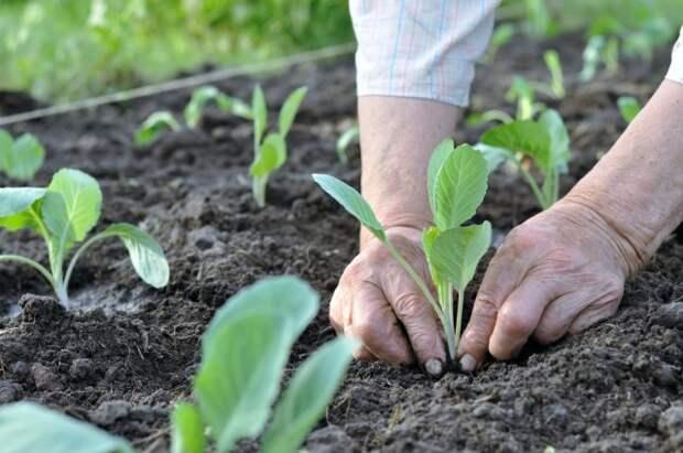 высаживать рассаду капусты