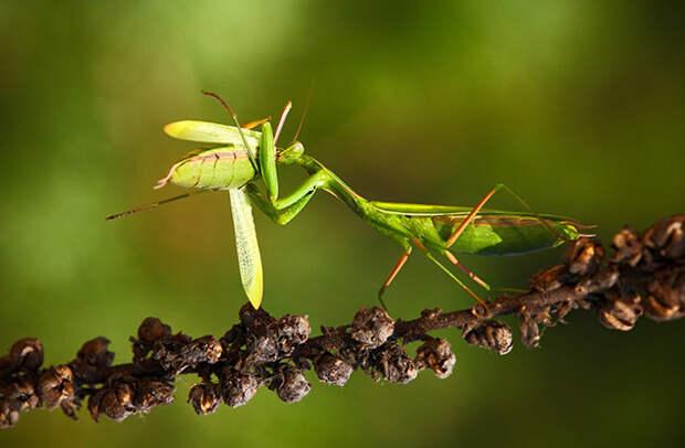 Почему самка богомола съедает самца