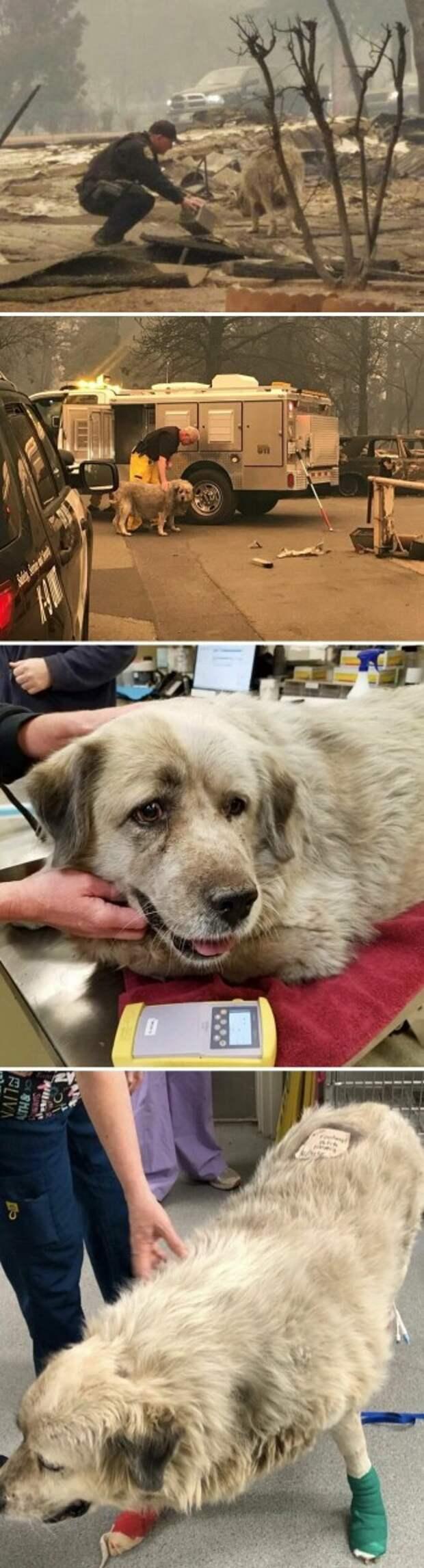 4. Эту потеряшку спасли во время калифорнийских пожаров. У нее сильно обгорели лапы, но она продолжала улыбаться. После недели поисков нашелся ее хозяин! 14 баллов из 10 всем, кто помогал! животные, оценка, популярный, собака, собаки, соцсети, твиттер, юмор