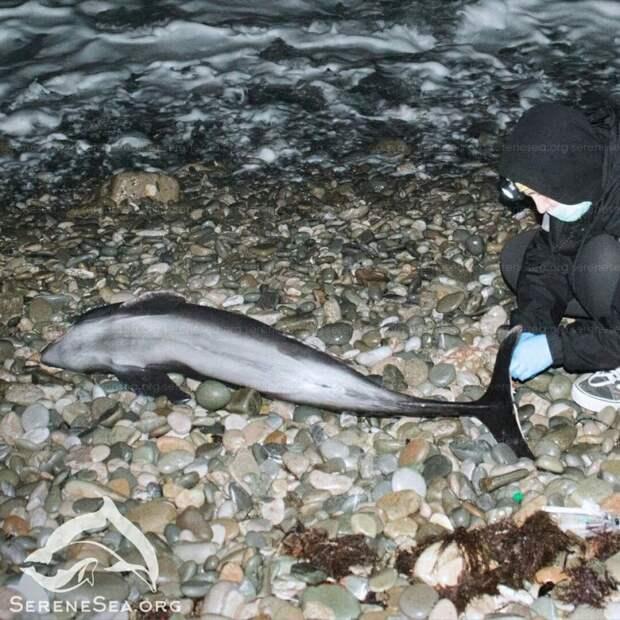 Истощенный дельфин проглотил куски пластика: Крымские ученые выясняют тайну гибели азовки