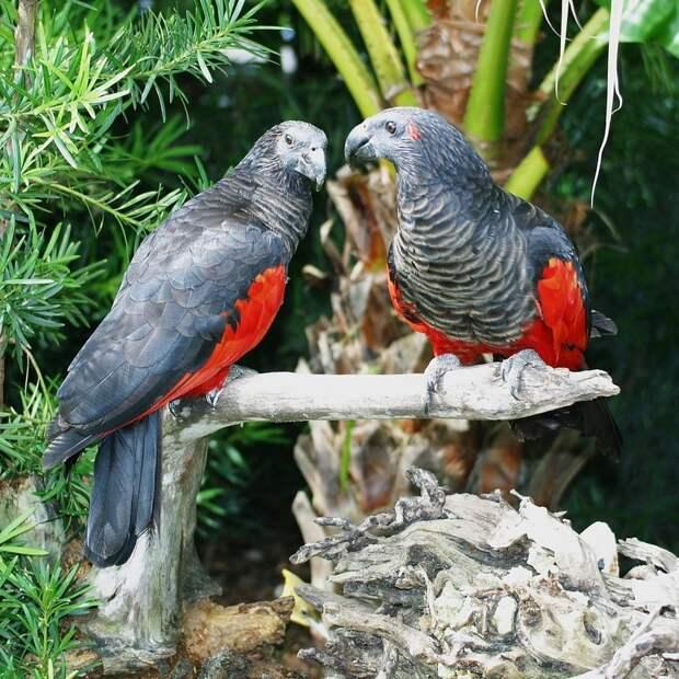 Самая готическая птица на планете стоимостью в полмиллиона — попугай Дракулы