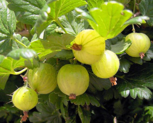 My Organic guru - Getting Fruity
