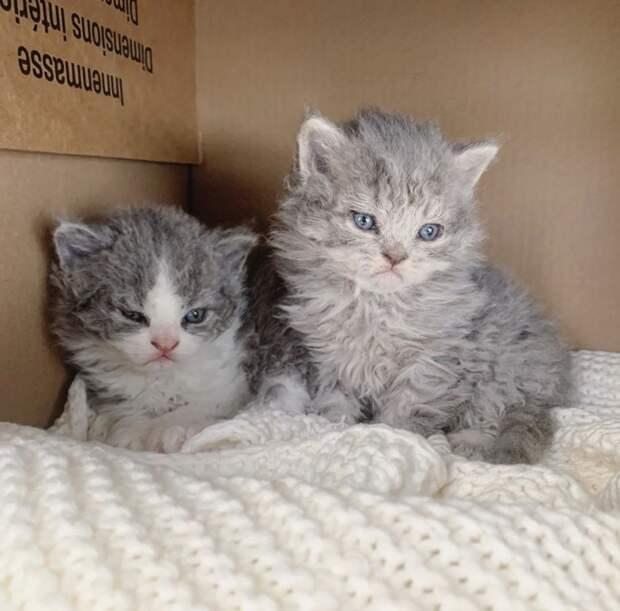 7 фото кудрявых кошек, которые напоминают милых овечек
