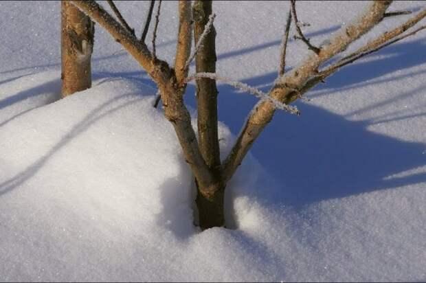 Прививка под снегом