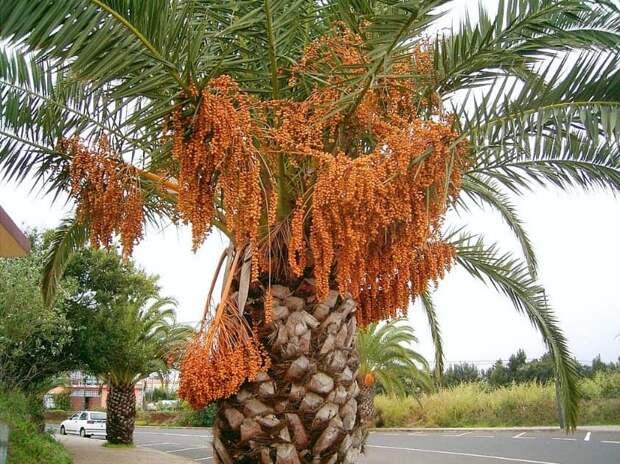 Не бананы, не ананасы, не манго… А что же растет на пальме?
