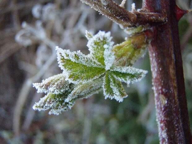 Как спасти растения от заморозков