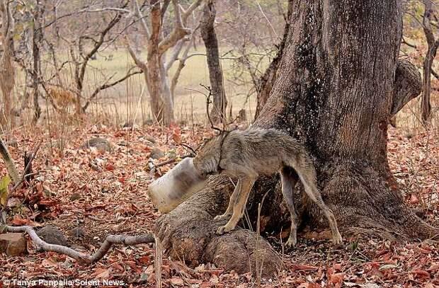 Голова волка застряла в бутылке. Спасли его двое друзей, и это было оочень трудно!