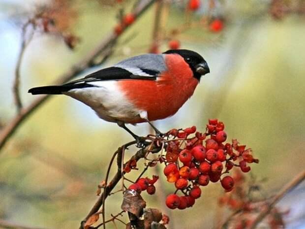 Снегирь-птица-Описание-и-образ-жизни-снегиря-1