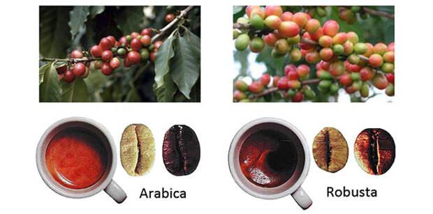 Кофе арабика и робуста фото