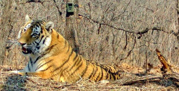 Нацпарк «Земля леопарда» показал амурского тигра