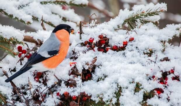 Сезон фотоохоты на снегирей открылся в парке «Москворецкий»