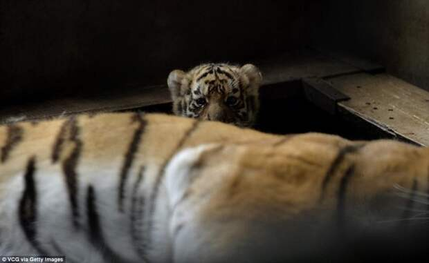 Тигрята-малыши Амурские тигрята, животные, сибирские тигрята