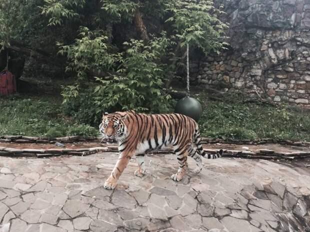 Тигр Умар из Московского зоопарка улетел в зоопарк Денвера