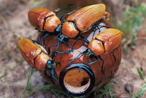 Австралийские бронзовые златки: Их самцы выбирают пивные бутылки вместо самок. История о том, как стеклянная тара уничтожает вид