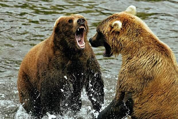 Гризли: 6 особенностей из жизни свирепого американского медведя