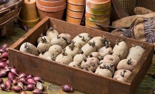 Зеленение картофеля - простой способ прибавить 20% к будущему урожаю!