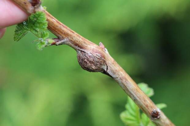 Повреждение малины галлицей