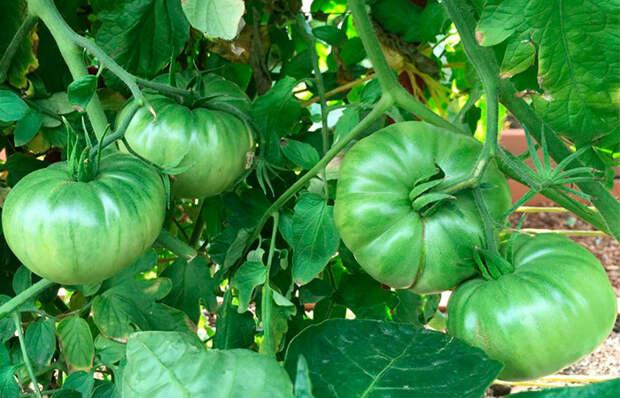 Вечнозеленый… помидор — неожиданная вкуснятина