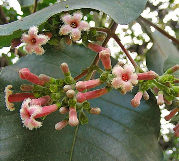 Соцветия, которые придают кроне розовато-красный оттенок