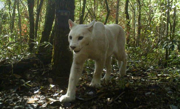 Камера в лесу засняла пуму-альбиноса. Фото животного, которое существует в единственном экземпляре